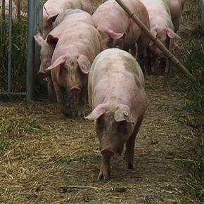 China's taste for pork serves up a pollution problem
