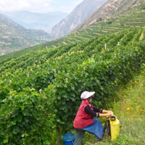 China's wine boom of little profit to giant pandas and small farmers