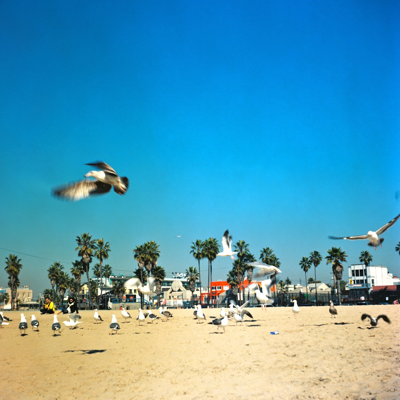 Seagulls, Los Angeles
