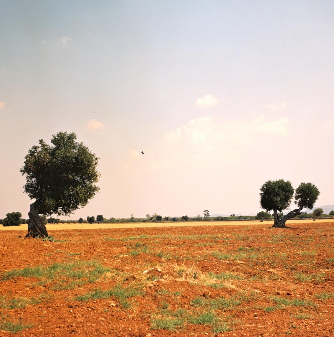 Olive trees, Puglia