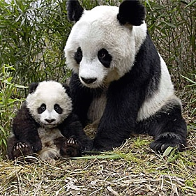 China's panda population increases by 17 per cent, major census finds